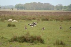 Утки летания идя для посадки Стоковое Изображение