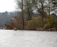 Утки стоковое изображение rf