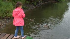 Утки маленькой девочки питаясь в парке Ребенк бросает хлеб к утке с ее утятами 4K акции видеоматериалы