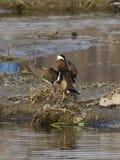 Утки мандарина - птицы влюбленности Стоковые Фотографии RF