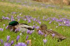 Утки между цветками крокуса Стоковая Фотография