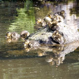 Утки младенца Стоковая Фотография
