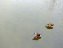 Утки на бассейне льда в зиме Стоковые Фотографии RF
