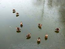 Утки на бассейне льда в зиме Стоковое Фото