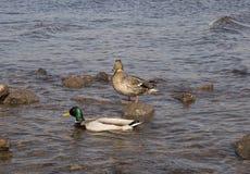 2 утки на береге, одной стоят и другое одно плавает в воде стоковые изображения