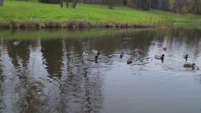 Утки на воде в пруде парка города Дикие утки в озере гусыни одичалые утки на воде на дне Утки Стоковое Фото