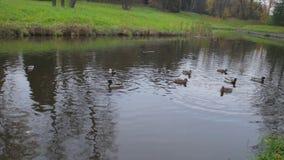 Утки на воде в пруде парка города Дикие утки в озере гусыни одичалые утки на воде на дне Утки Стоковая Фотография RF