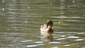 Утки на воде в пруде парка города Утки плавают в пруде в парке города заплыв уток в парке города Стоковая Фотография