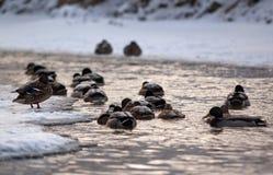 Утки на воде Стоковые Фотографии RF