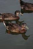 Утки на воде Стоковые Изображения RF