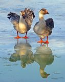 Утки на замороженном озере стоковое фото