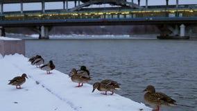Утки на зиме гуляют около моста видеоматериал
