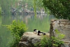 2 утки на камне стоковое фото
