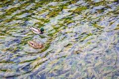 2 утки на кристалле - ясном озере Стоковое фото RF
