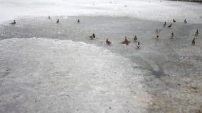 Утки на озере летели в зиму полюбовную видеоматериал