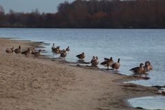 Утки на озере зимы стоковое фото