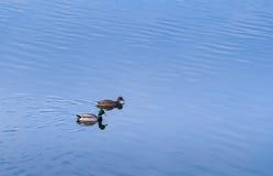 Утки на озере Стоковая Фотография RF