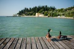 Утки на озере Garda, Италии стоковые изображения rf