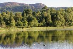 Утки на озере Lowes стоковая фотография rf