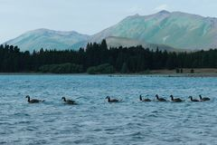 Утки на озере Tekapo, Новой Зеландии стоковое изображение rf