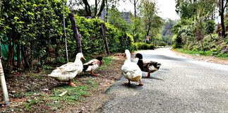 Утки на дороге Стоковое фото RF