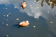 Утки на поверхности воды Стоковые Фото