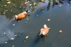 Утки на поверхности воды Стоковое Фото