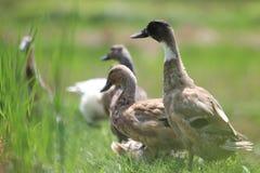 Утки на поле Стоковая Фотография