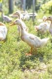 Утки на прогулке на зеленом луге на ферме wildlife field вал Стоковая Фотография RF
