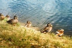 Утки на пруде в лете Стоковые Фото