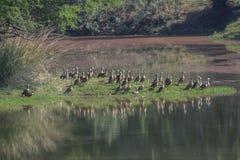 Утки на пруде Стоковые Изображения