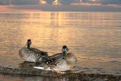 Утки на пляже в заходе солнца моря Стоковое Фото
