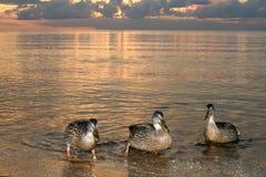 Утки на пляже в заходе солнца моря Стоковая Фотография