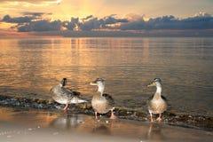 Утки на пляже в заходе солнца моря Стоковые Изображения RF