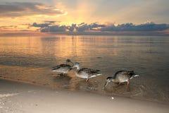 Утки на пляже в заходе солнца моря Стоковые Изображения