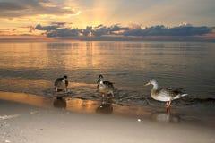 Утки на пляже в заходе солнца моря Стоковое фото RF