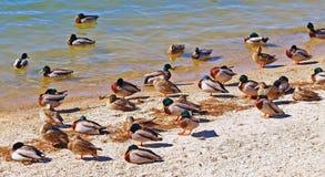 Утки на пляже Стоковые Изображения