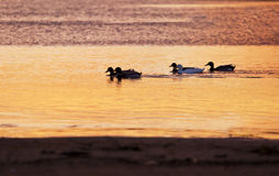 Утки на реке на заходе солнца стоковые изображения rf