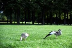 Утки на траве - распространении крыло стоковая фотография rf