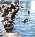 Утки на утке pond наслаждаться их свободой стоковые фото