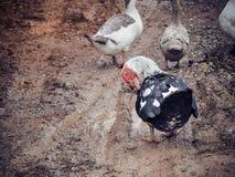 Утки на ферме Стоковая Фотография RF