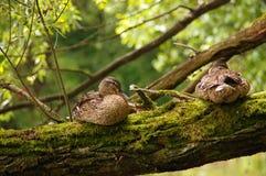 Утки на хоботе дерева Стоковая Фотография