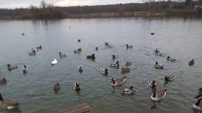 Утки озера озер очаровательные Стоковая Фотография