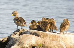 Утки отдыхая на стволе дерева Стоковое Изображение