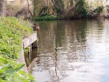 Утки отдыхая на краю реки Стоковое Изображение