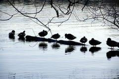Утки на зеленом озере Стоковое Изображение