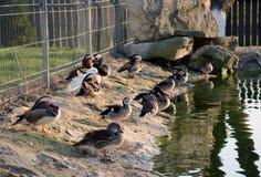 Утки очищают пер перед идти положить в постель на береге озера Стоковые Изображения RF