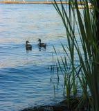 утки пар наслаждаясь озером Стоковое фото RF