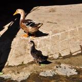утки пар Стоковое Фото