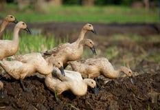 утки пася стоковая фотография